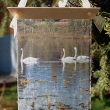 Summer Trumpeter Swans